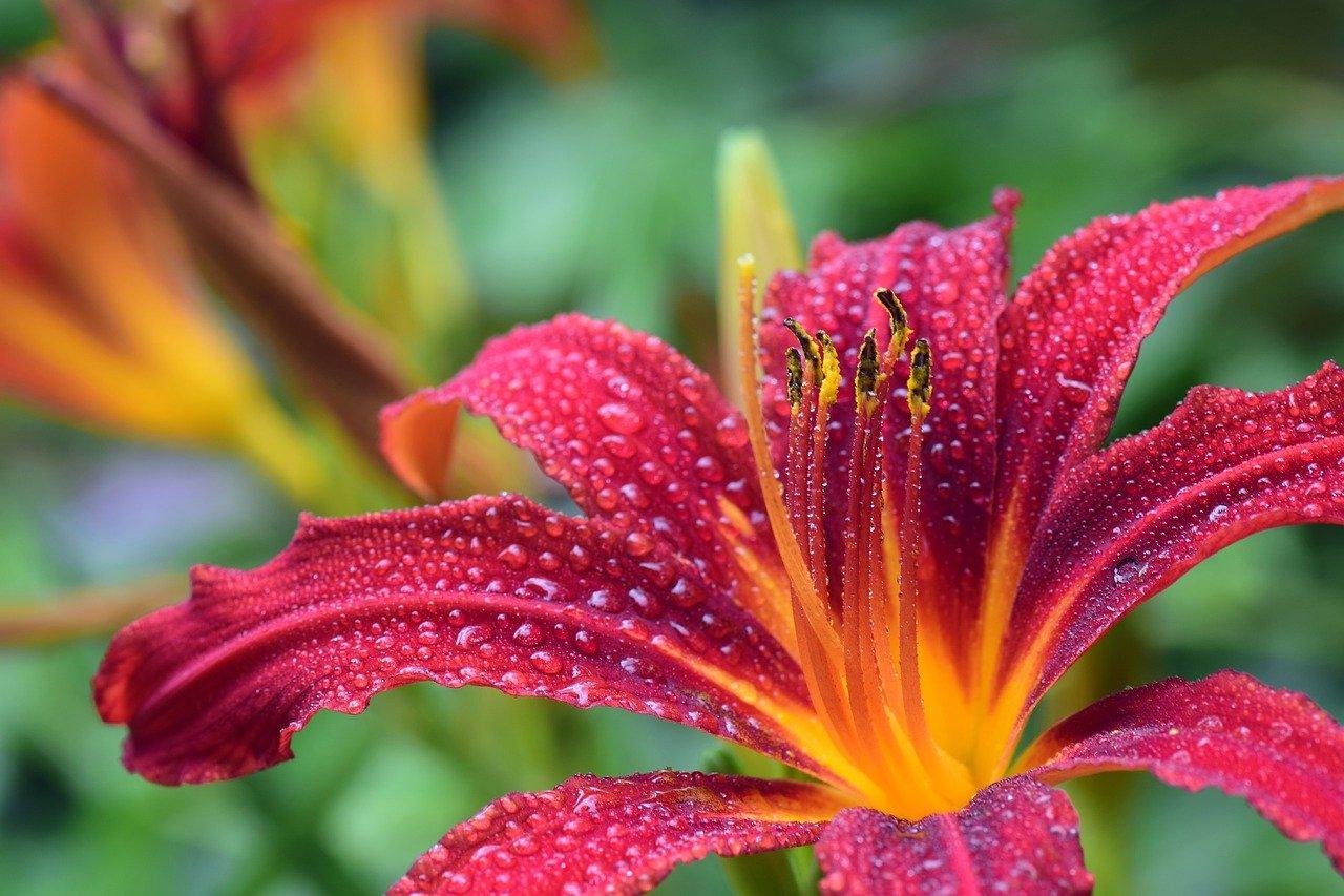 daylily, flower, dew-3495722.jpg