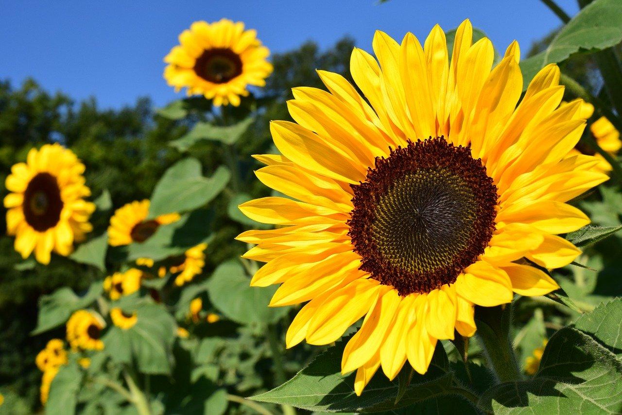 sunflower, yellow, flower-1627193.jpg